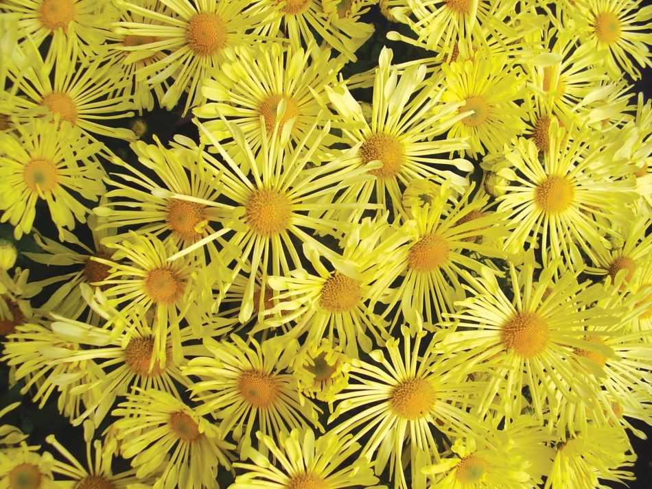 Chrysanthemum Mammoth Yellow Quill, pale yellow daisies with quill-shaped ray flowers.