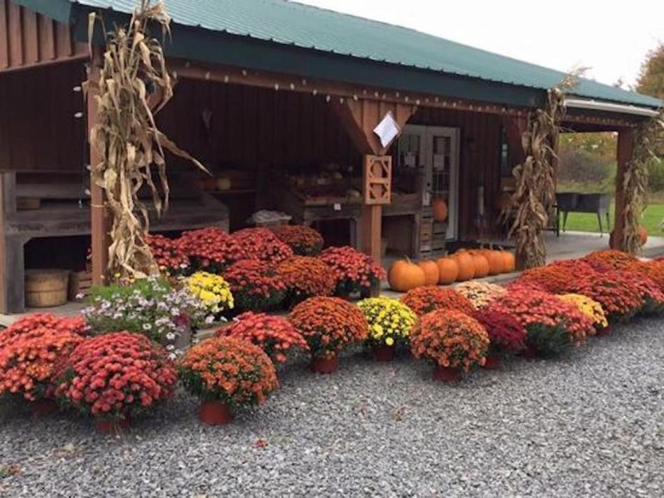 Display of orange and yellow cushion mums in front of a barn. Dried corn stalks.