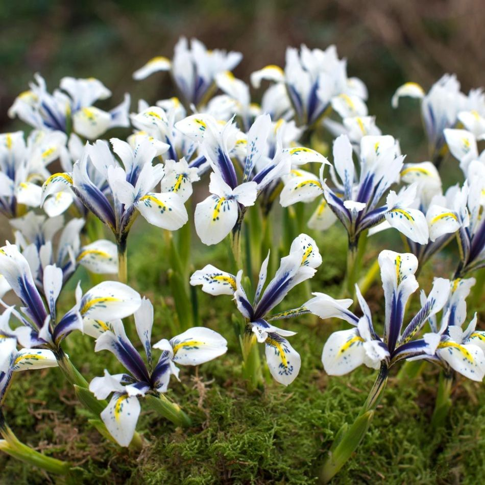 Eye Catcher Iris, White with cobalt blue band and spots, yellow mark