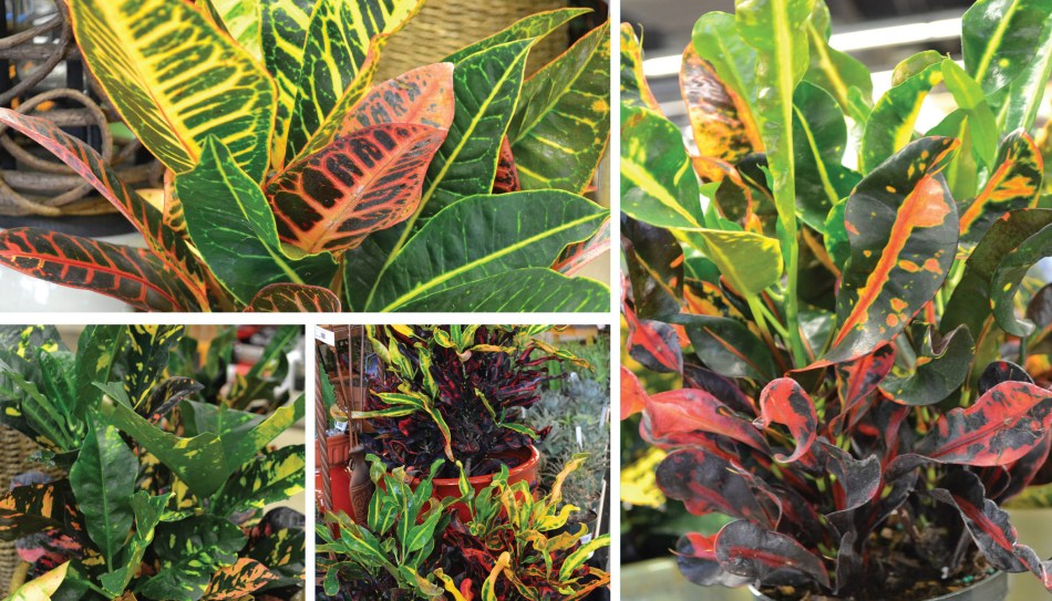 photos of several different crotons.
