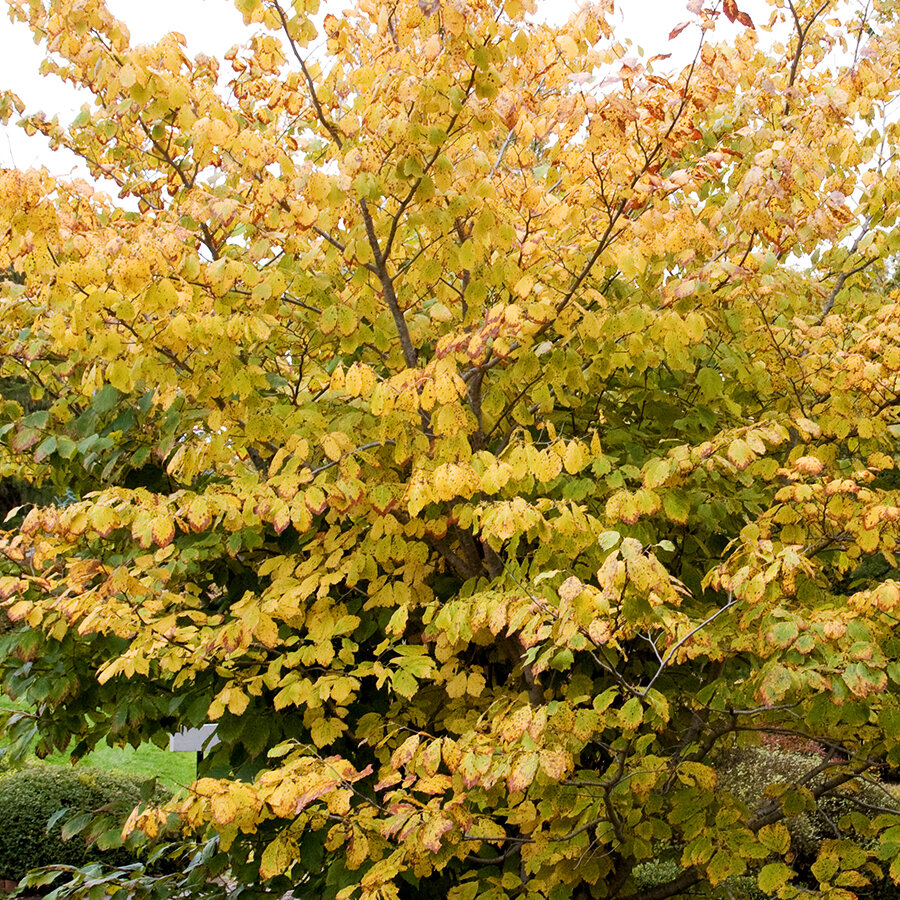 American witch-hazel showing yellow fall color