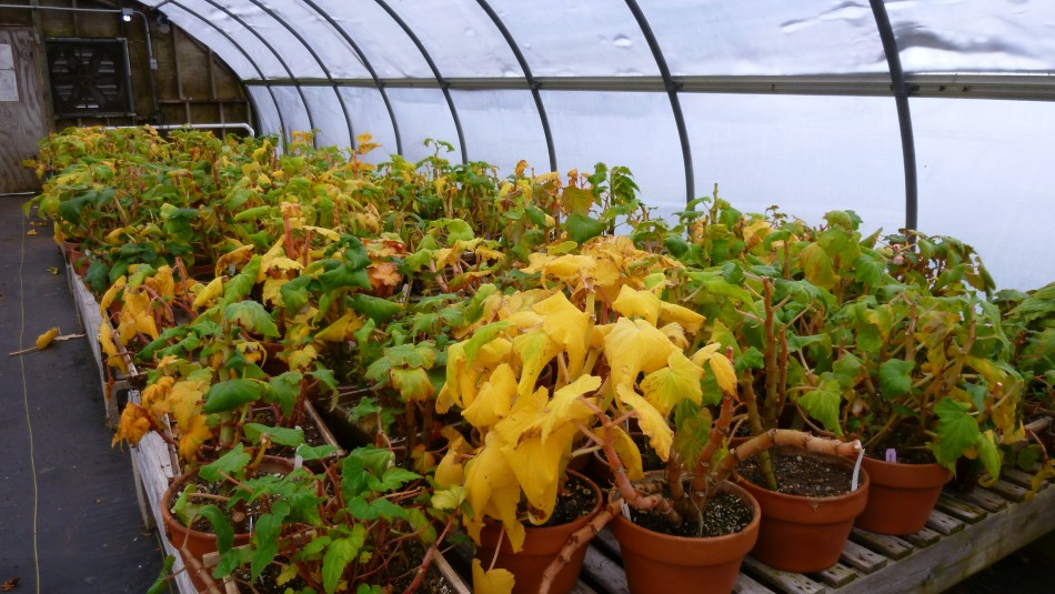 Tuberous begonias starting to turn yellow, indicating impending dormancy.