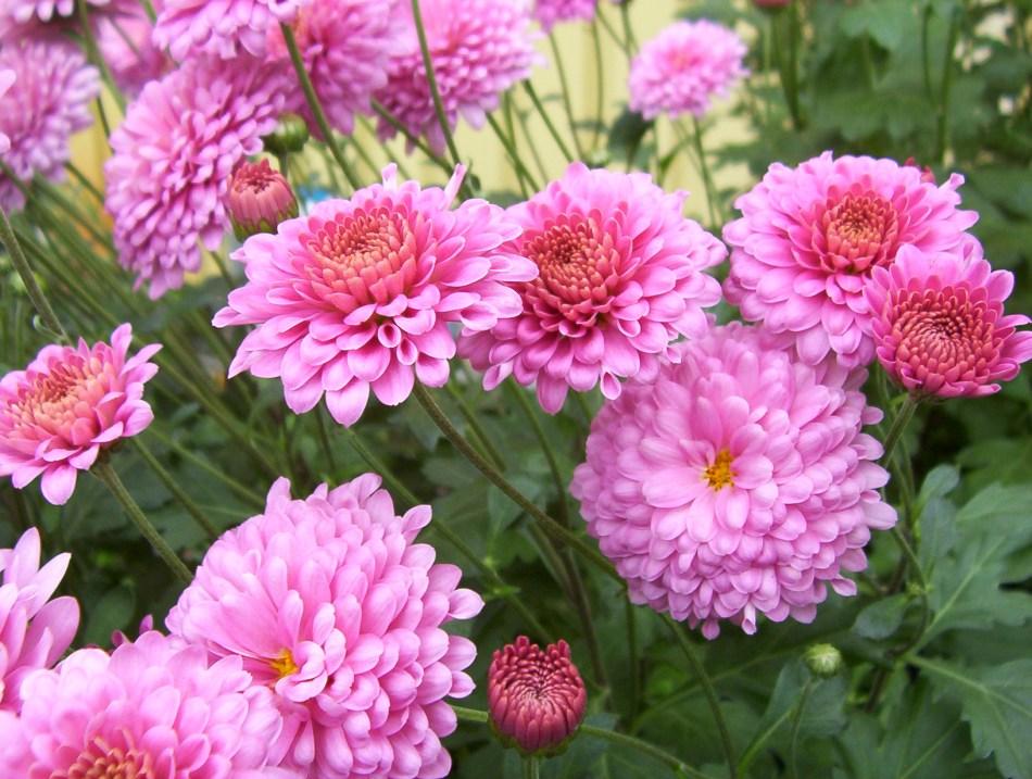 Chrysanthemum 'Showbizz', Double pink flowers