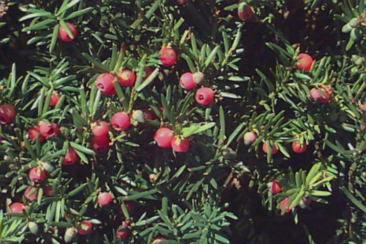 Taxus × media with red berries.
