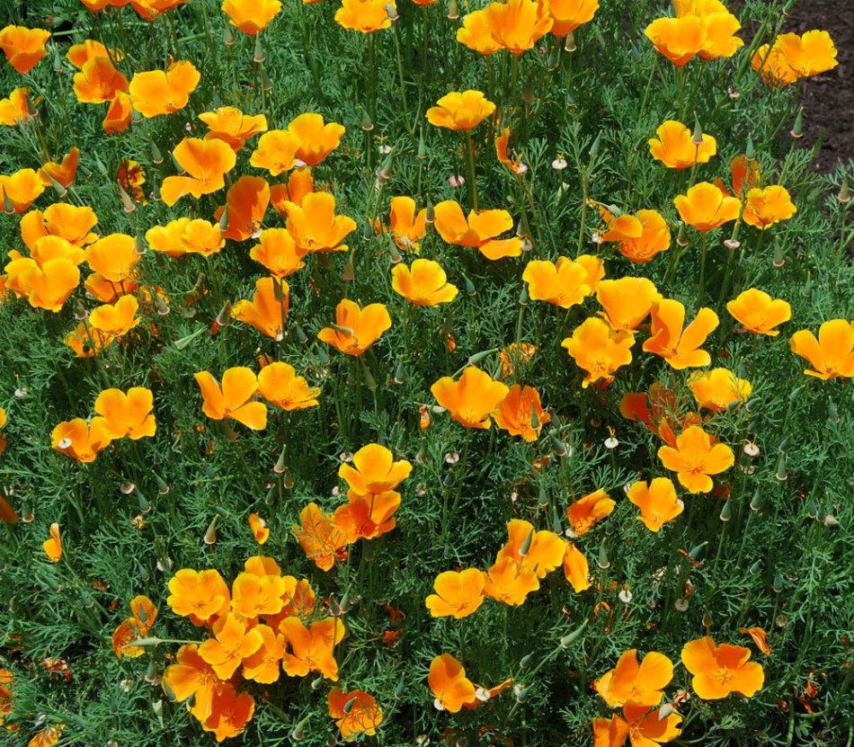 California poppy in flower