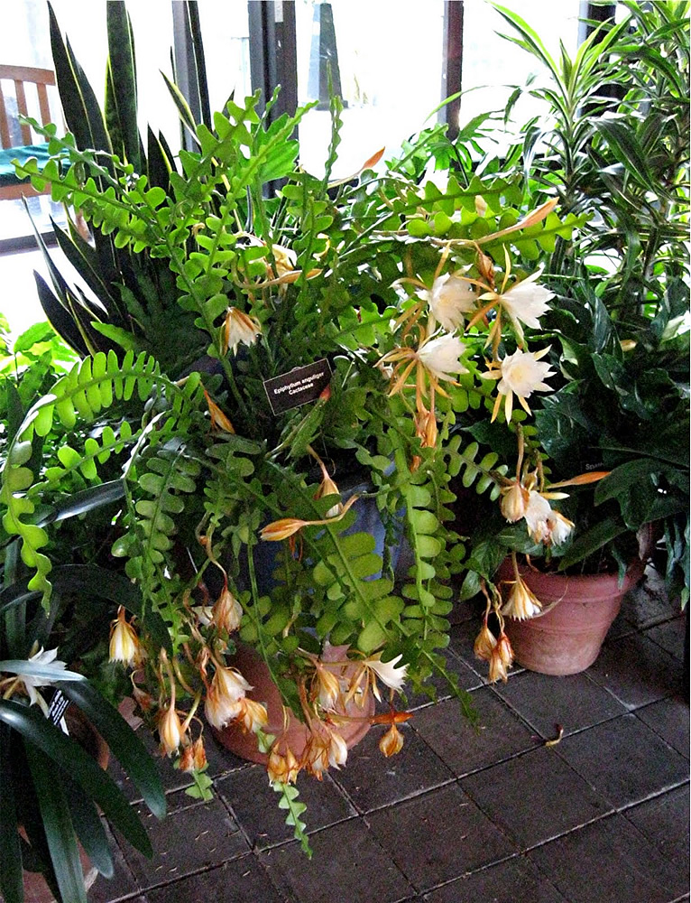 Zigzag cactus with many flowers