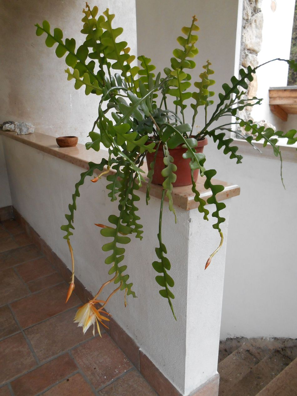 zigzag cactus indoors