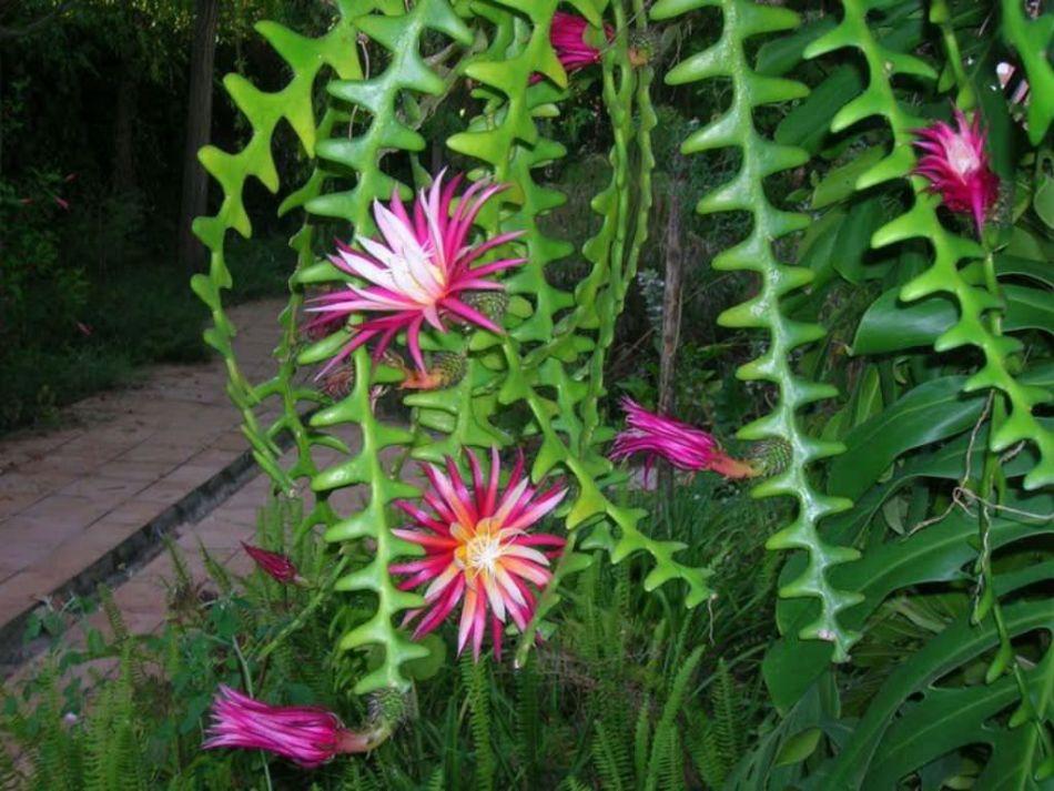 Selenicereus anthonyanus with flowers