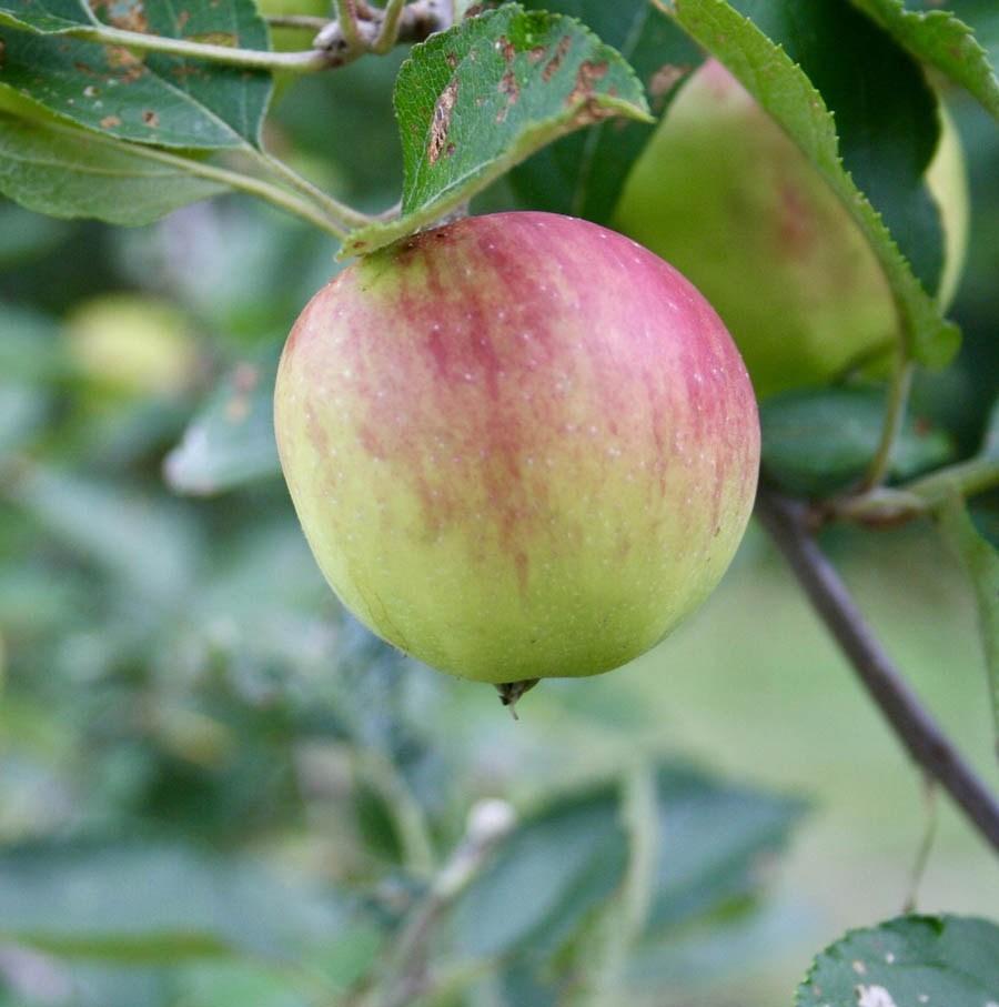 Apple on a tree.