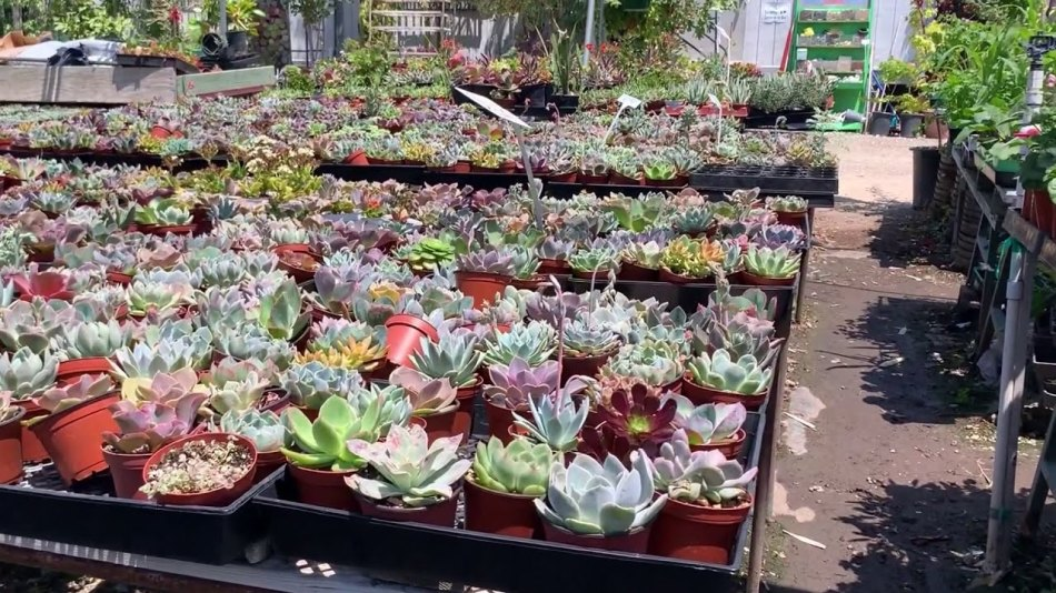 Nursery displaying succulents in plastic pots