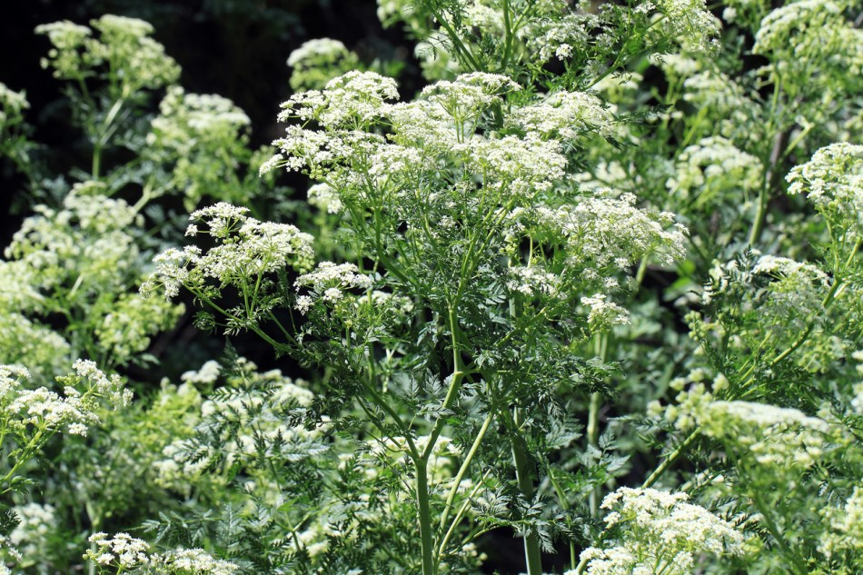 Poison hemlock with umbels of white flowers.