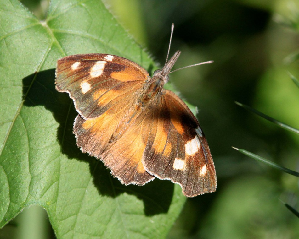 American snout butterfly with orange and brown wings dotted with white.