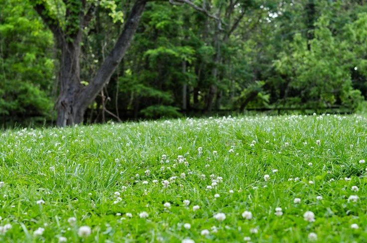 Lawn with clover flowers.