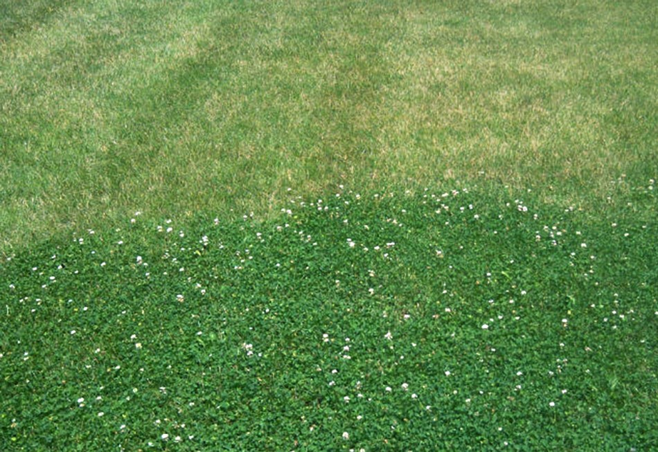 Micro-clover lawn compared to grass lawn.