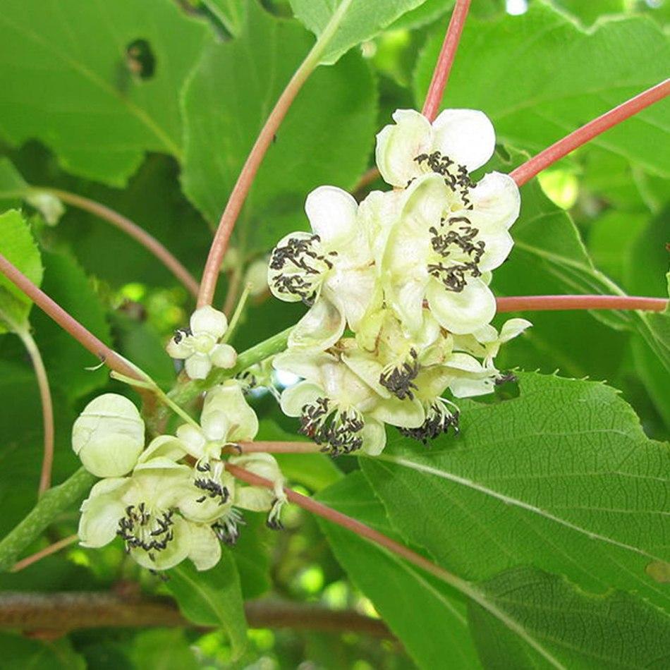 Flower of hardy kiwi