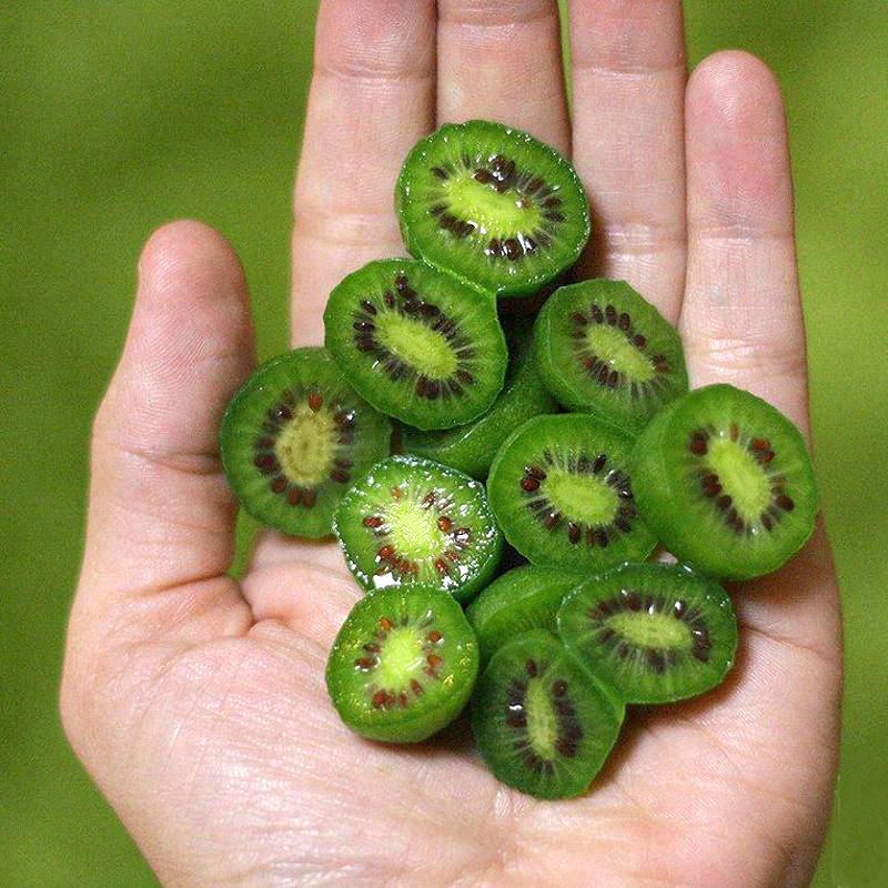 Kiwiberries cut in half, held in a hand