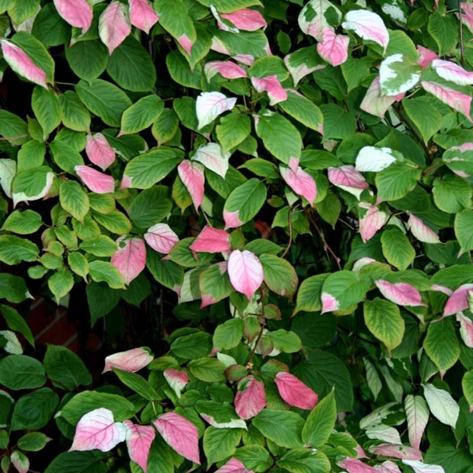 Variegated pink and white leaves of Arctic Beauty kiwi