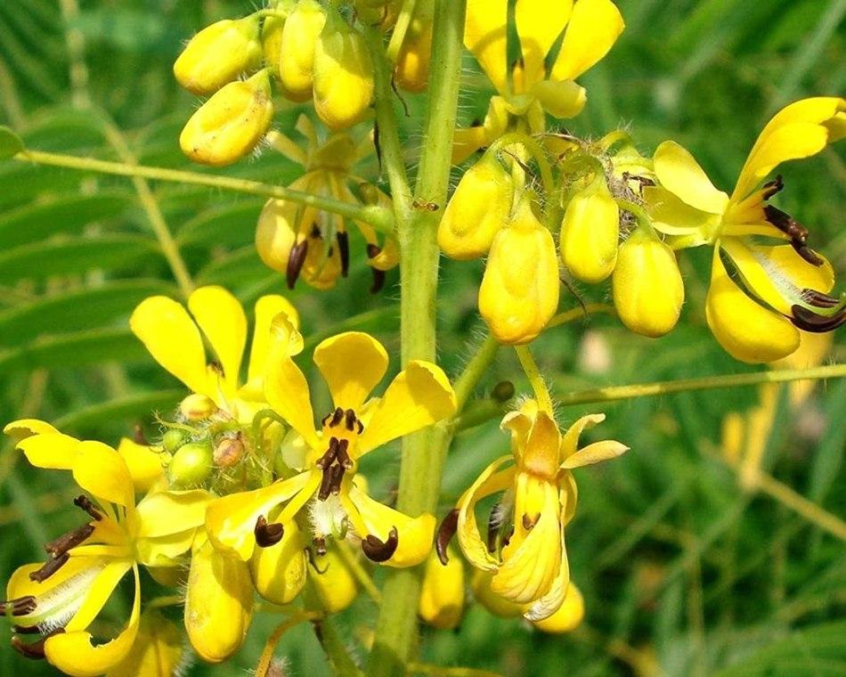 Closeup of flower of Maryland senna.