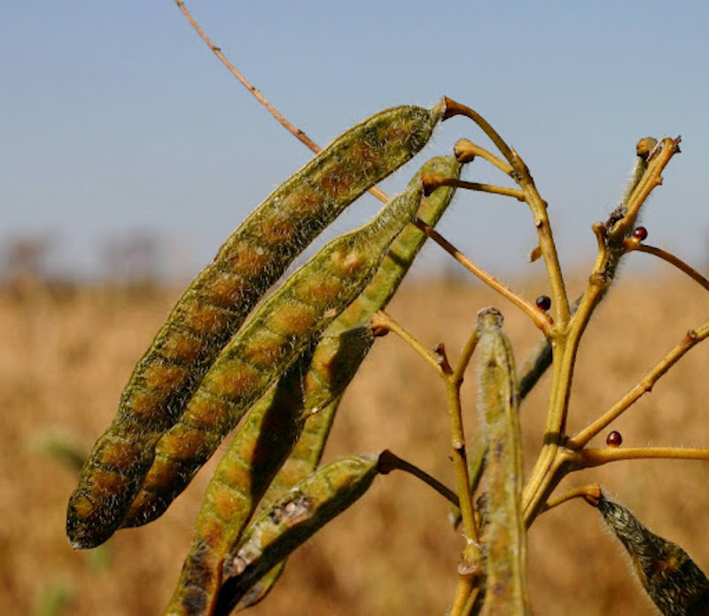 Seed pods of Maryland senna