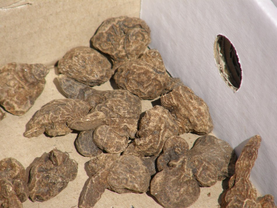 Anemone tubers dry, in a box