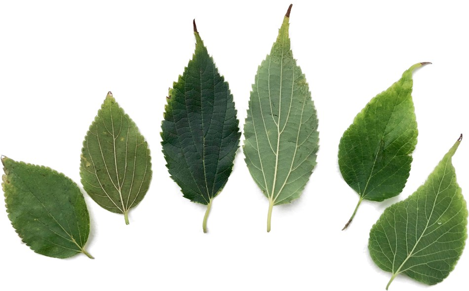 hackberry leaves showing differences in form