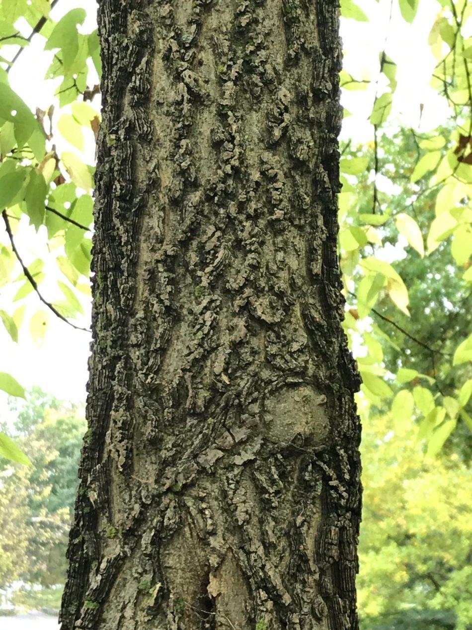 Ridged bark on mature tree.