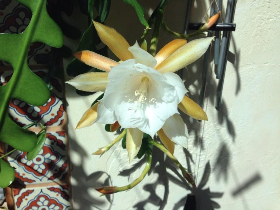 Zigzag cactus flower