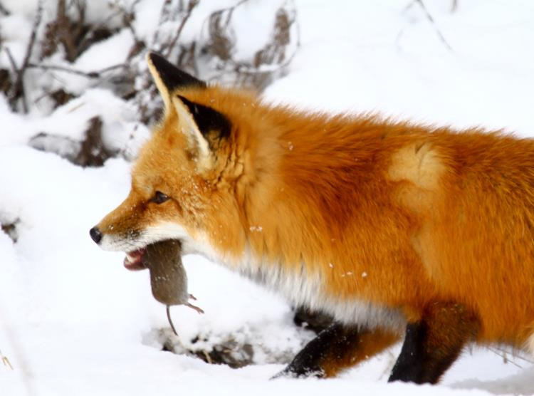 Fox in snow with vole in mouth