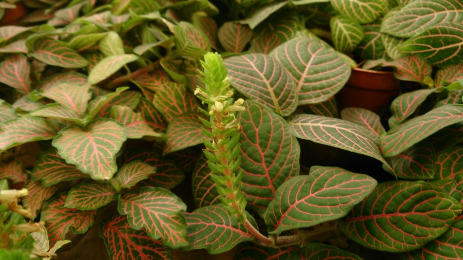Pink fittonia with flower stalks and yellow blooms.