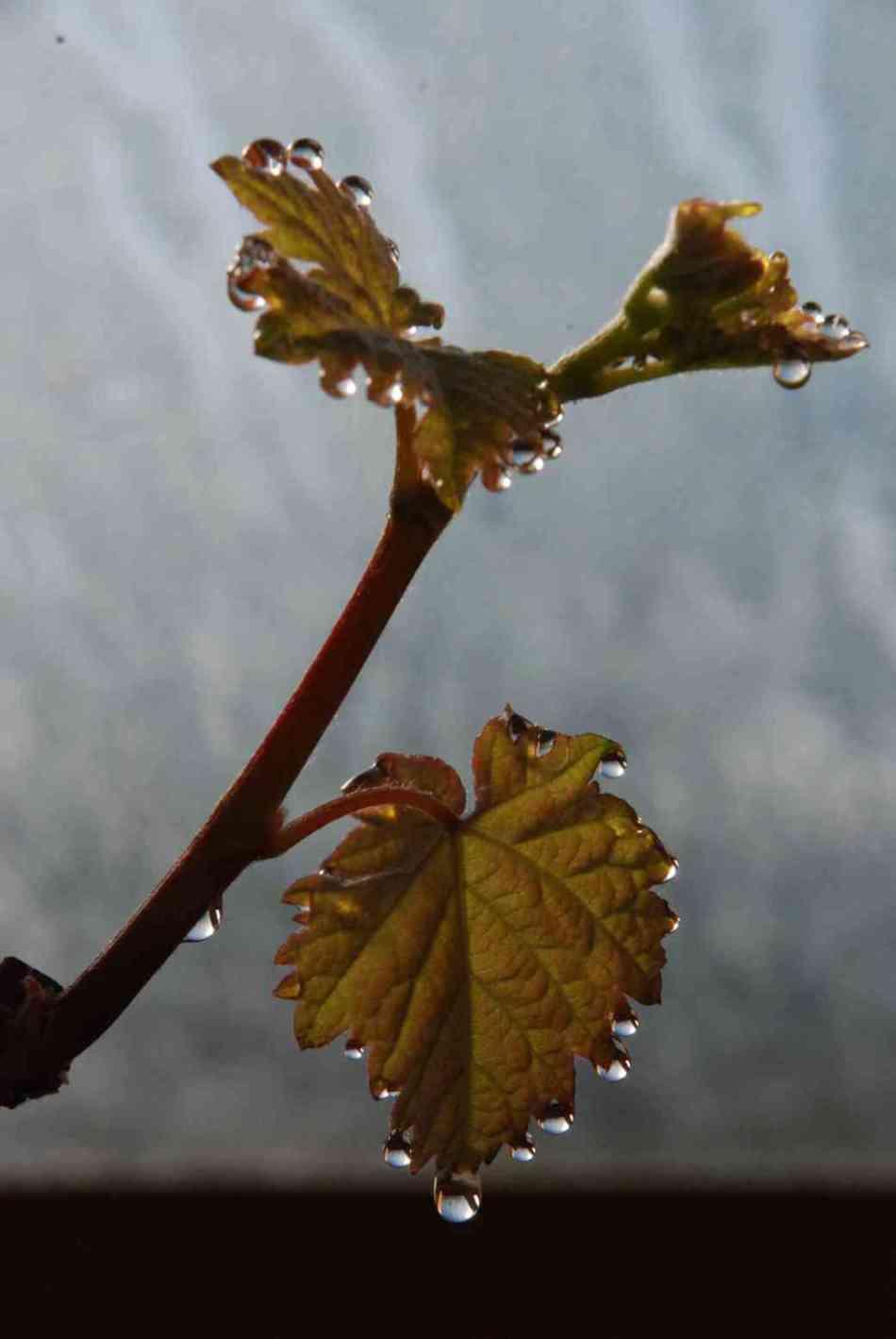 Guttation on grape leaves
