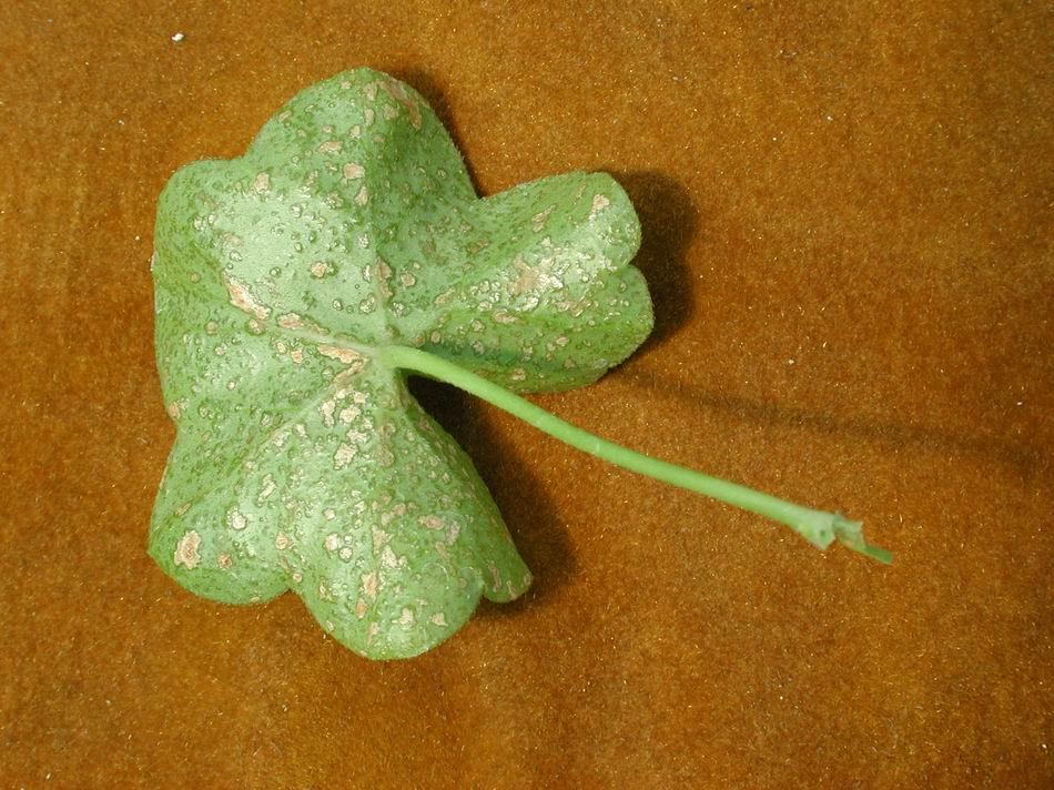 Edema on underside of ivy geranium leaf