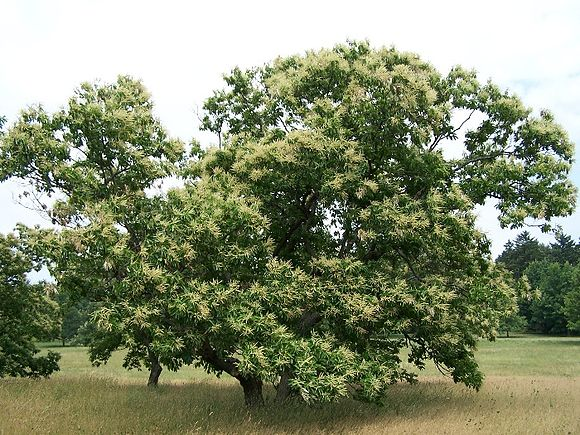 Young American chestnut