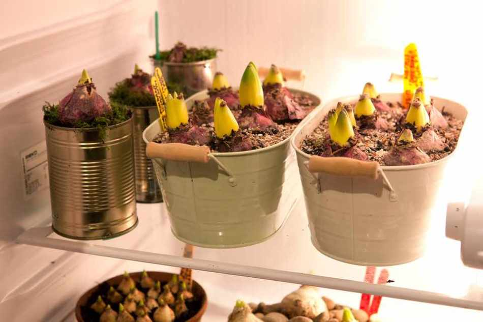 Sprouting hyacinths in fridge