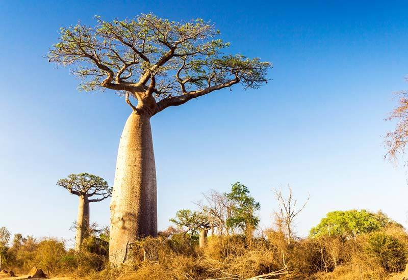 Giant baobab with bottle-shaped trunk.