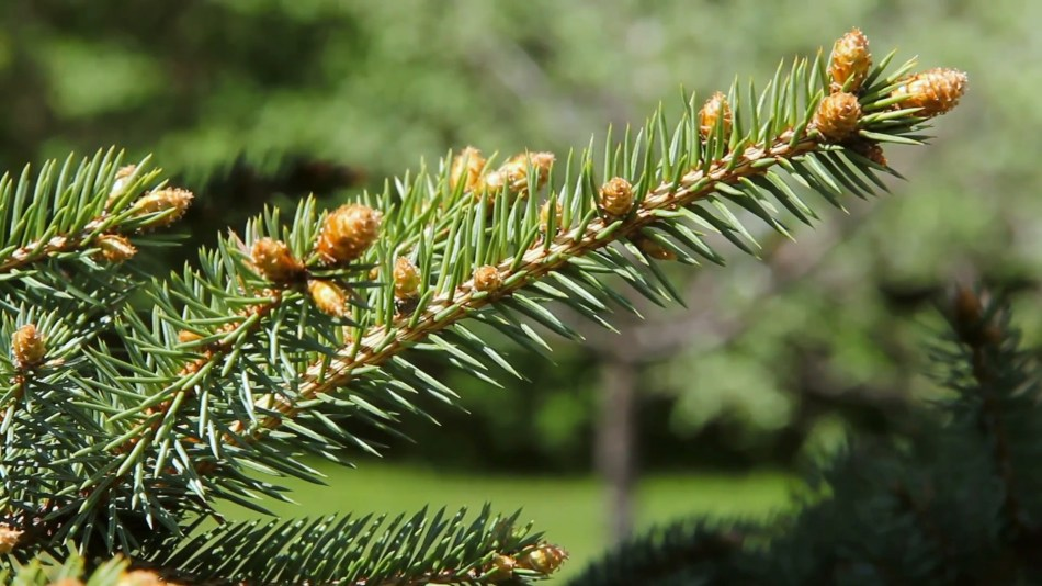 Pointed needles on a spruce.