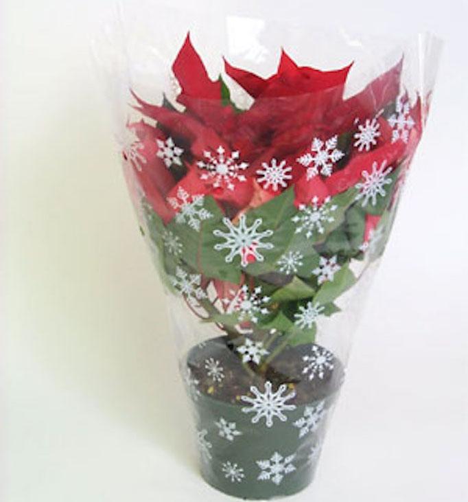 Red poinsettia in cellophane wrap.
