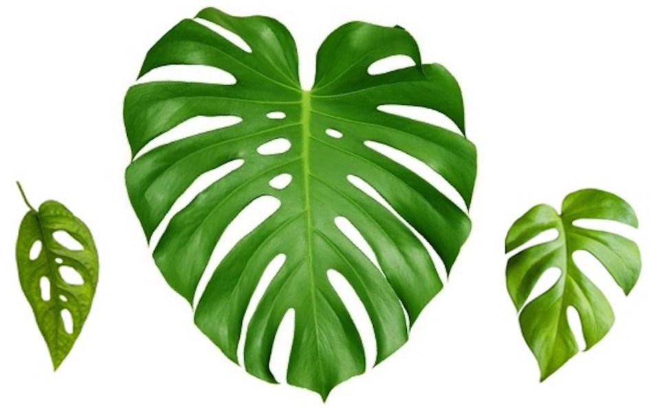 Leaf shapes of two monsteras and a Rhapidophora.