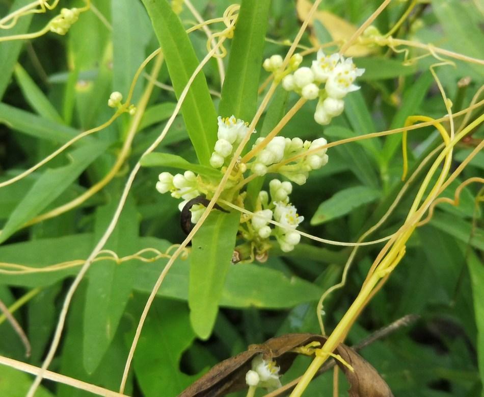 Flowers of five-angled dodder