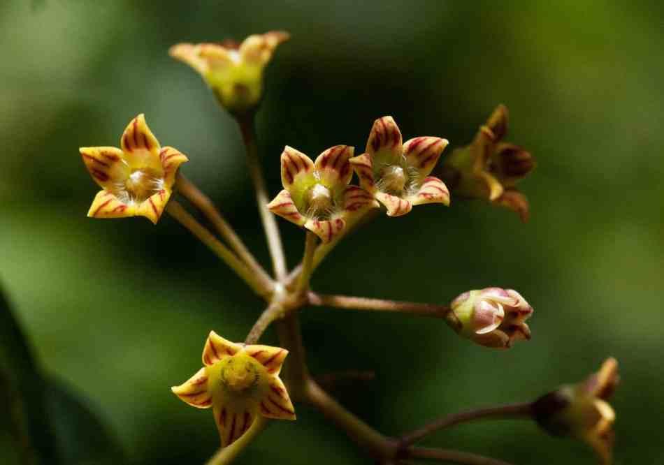 Marsdenia chirindensis, cluster of small brown-striped greenish flowers.