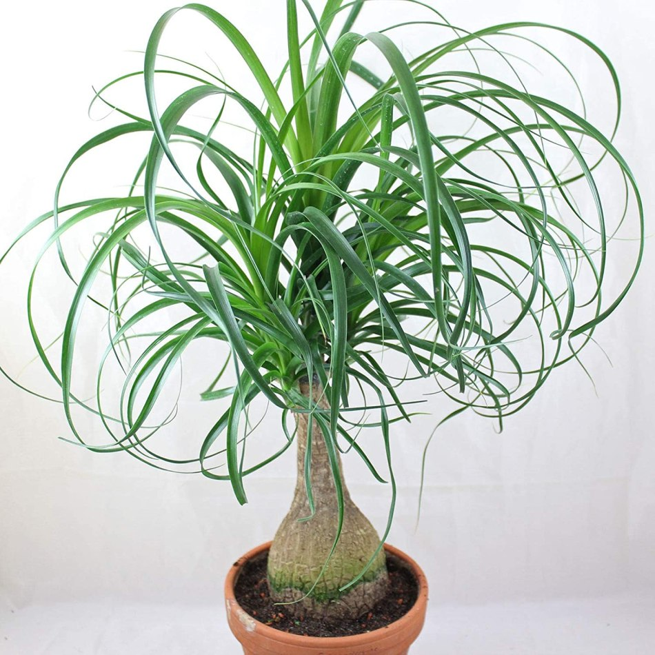 Beaucarnea in clay pot with curving leaves.