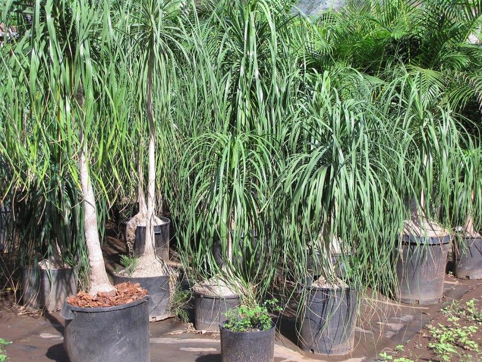 Nursery specimens of unpruned beaucarneas outdoors.