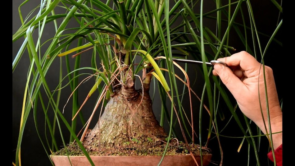 Pulling dried leaves off a beaucarnea