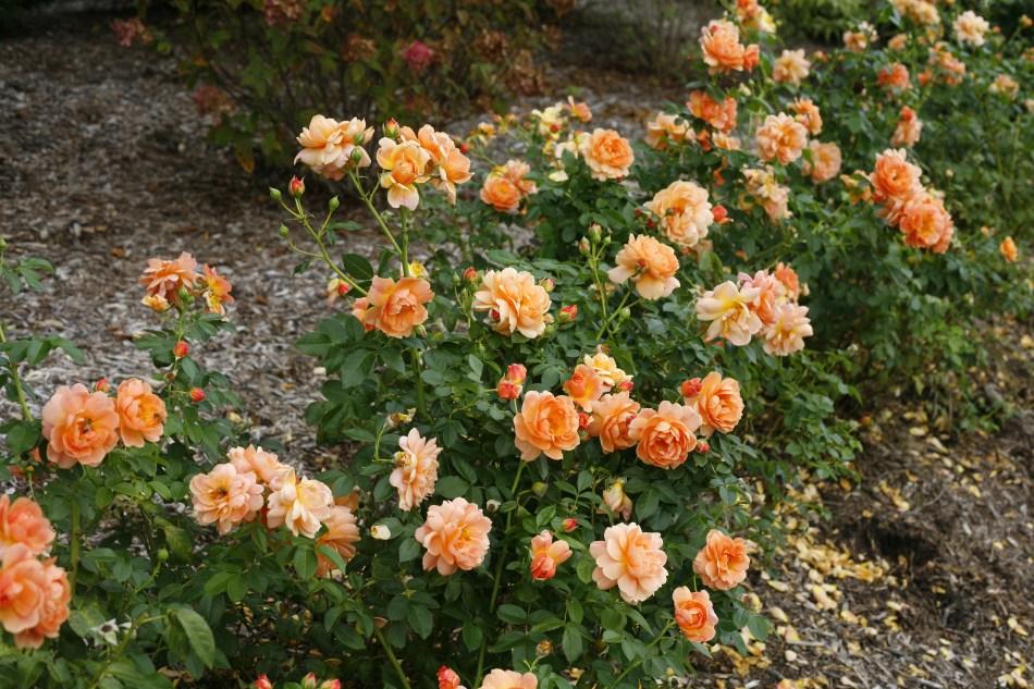At Last rose (orange flowers) used as a hedge
