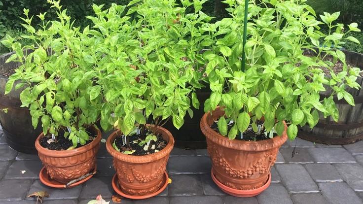 Three basil plants in ornamental faux terracotta pots