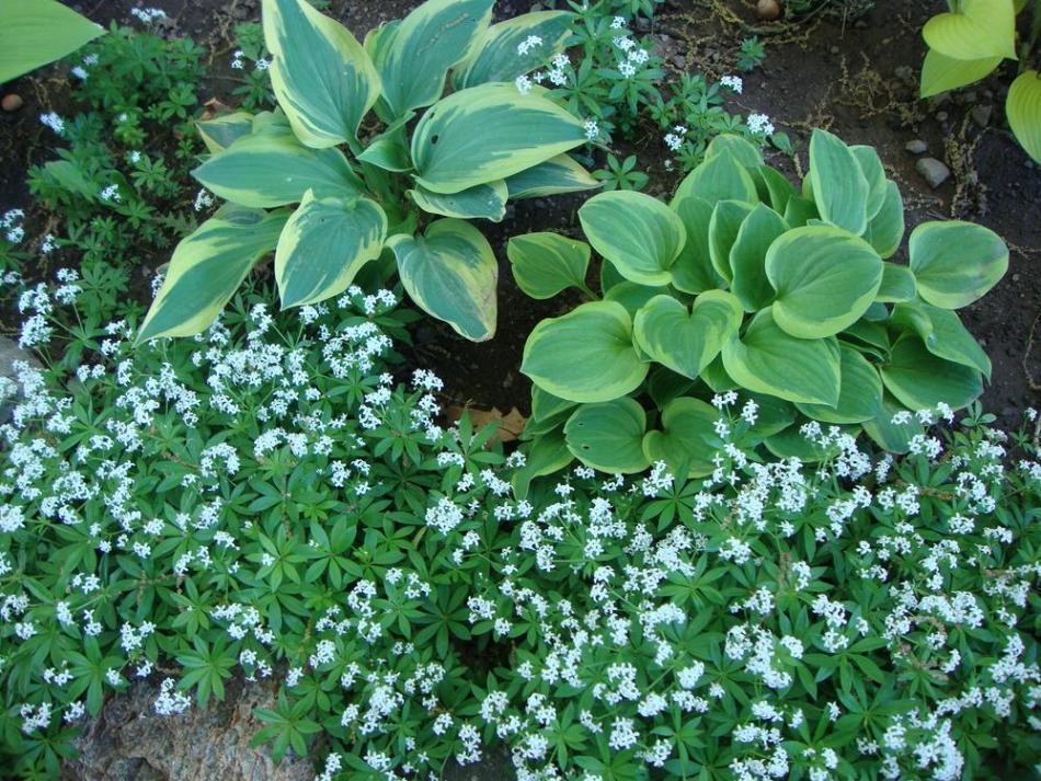 Sweet woodruff in bloom filling in around 2 hostas.