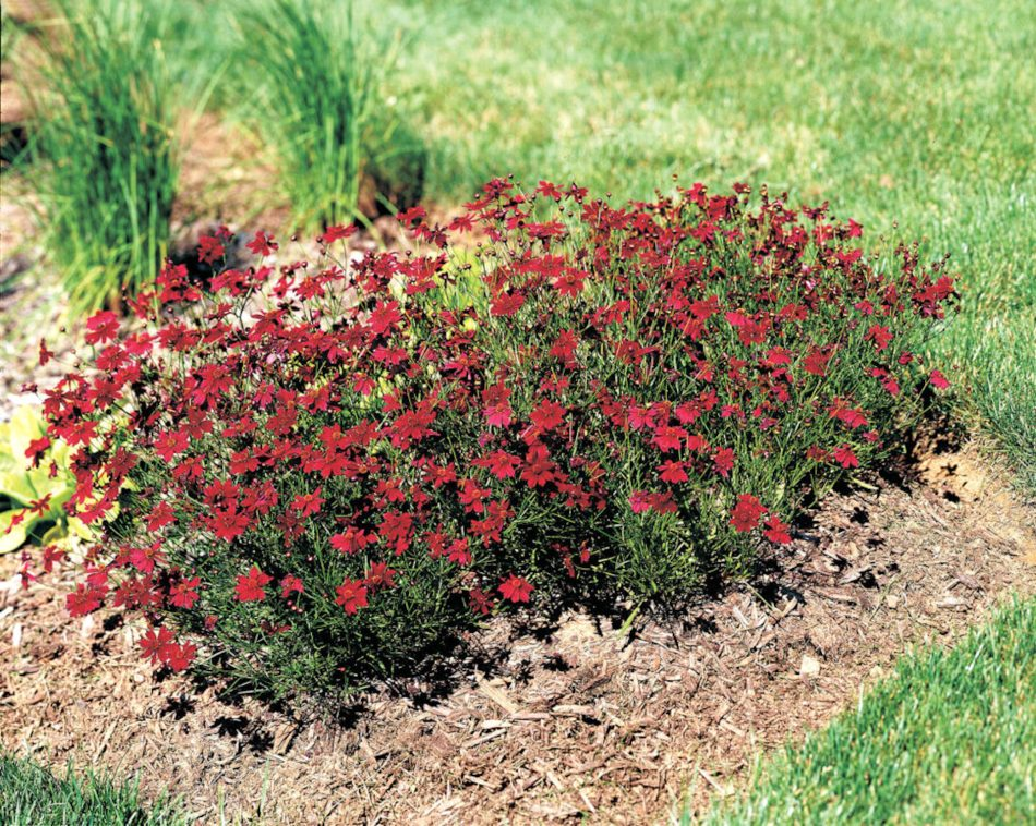Several plants of coreopsis limerock ruby with small, dark red flowers in a flower bed.