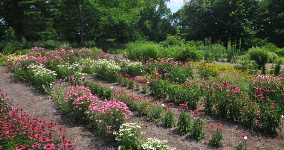 Perennial trial featuring echinaceas.