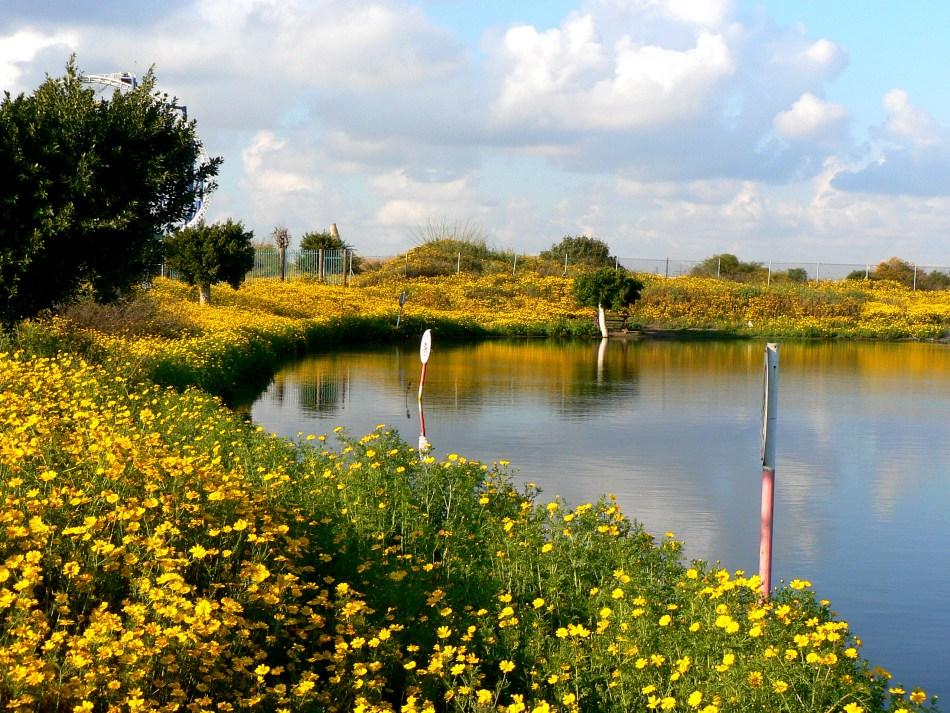 Wild garland chrysanthemums by the thousands around a pond.