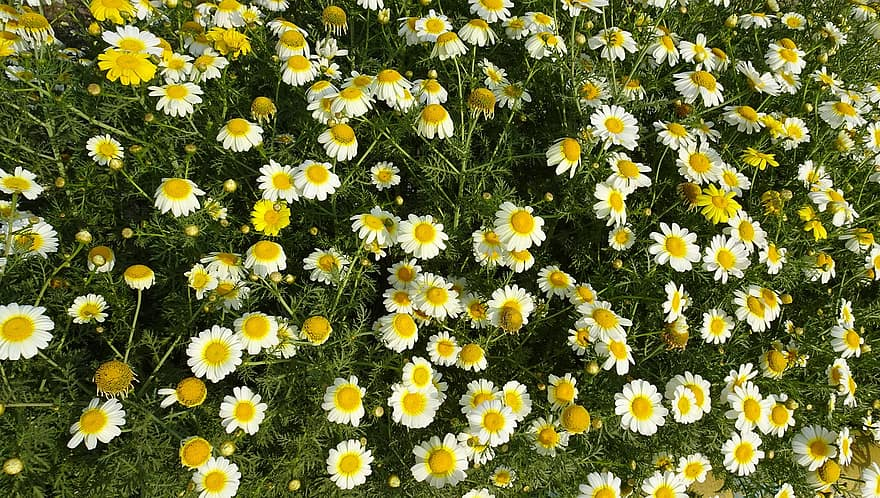 Broad patch of white and yellow garland chrysanthemum flowers, cut leaves visible below