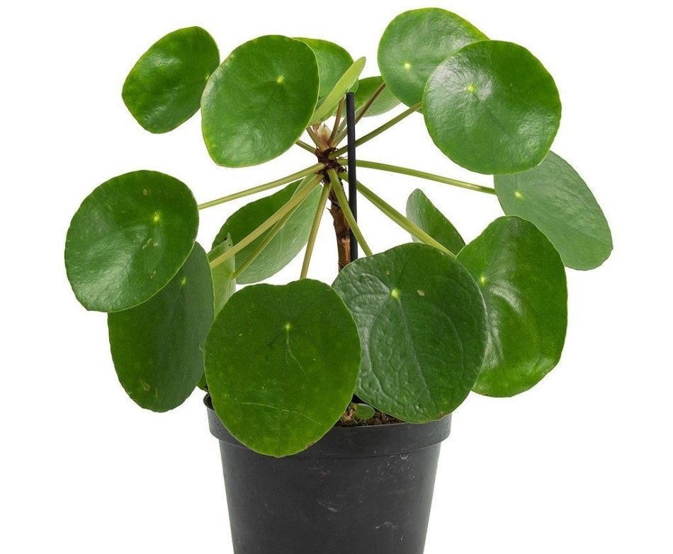 Upright small plant with flat, round, green leaves like a piece of money.